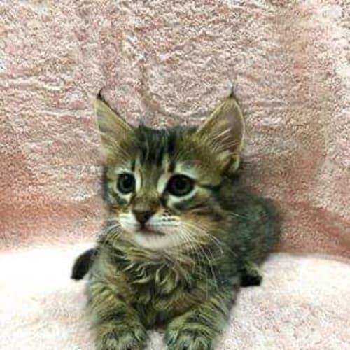 Brie - Domestic Medium Hair Cat