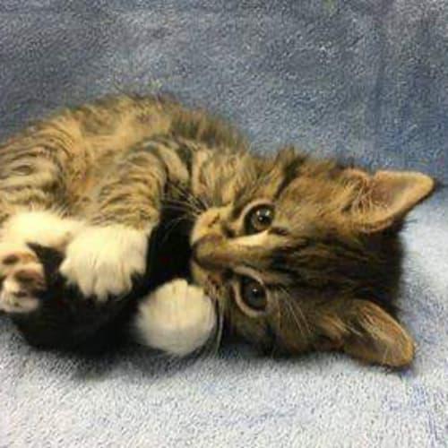 Cheddar - Domestic Medium Hair Cat