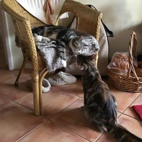 Cleo - Domestic Medium Hair Cat