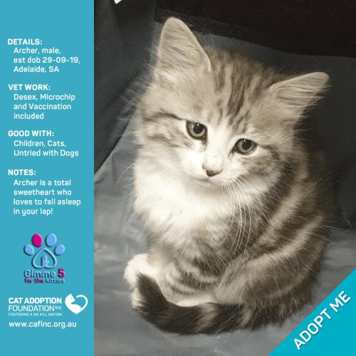 Archer - Domestic Medium Hair Cat