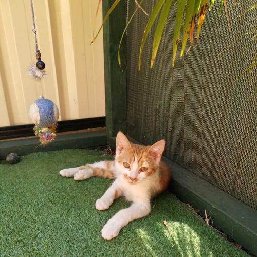 Theon - Domestic Short Hair Cat