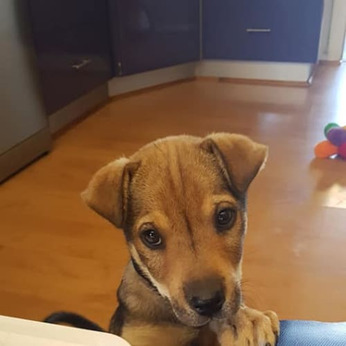 Jem - Kelpie x Shar-Pei Dog