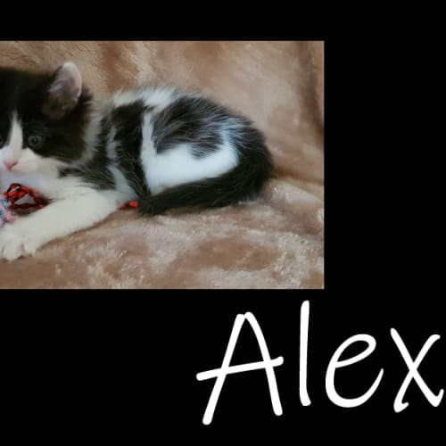 Alexa - Domestic Medium Hair Cat
