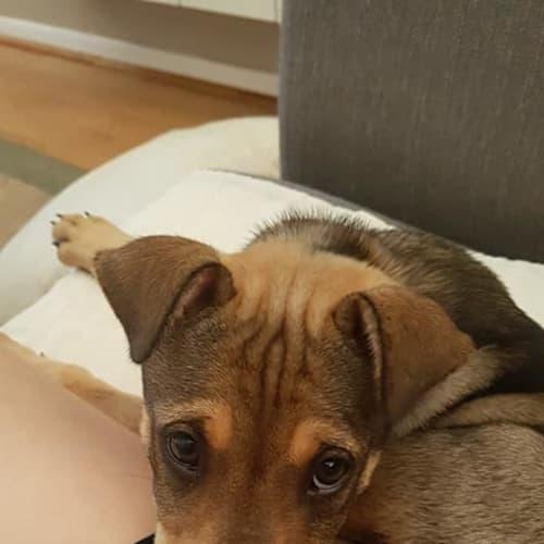 Scout - Kelpie x Shar-Pei Dog