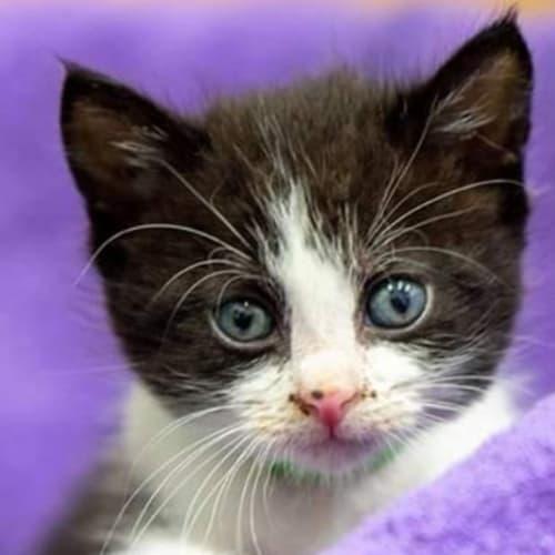 Caleb - Domestic Short Hair Cat