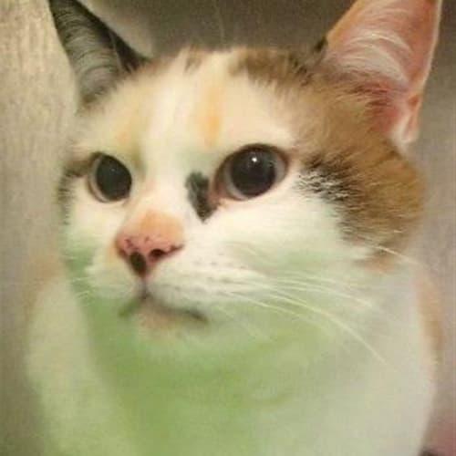 Mittens - Domestic Short Hair x Snowshoe Cat