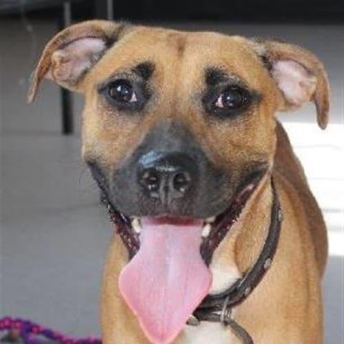 Lexi - English Staffordshire Bull Terrier Dog