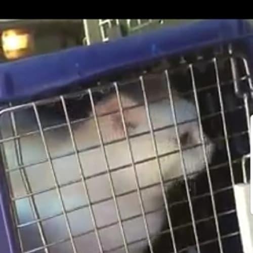 Snow White - Domestic Short Hair Cat