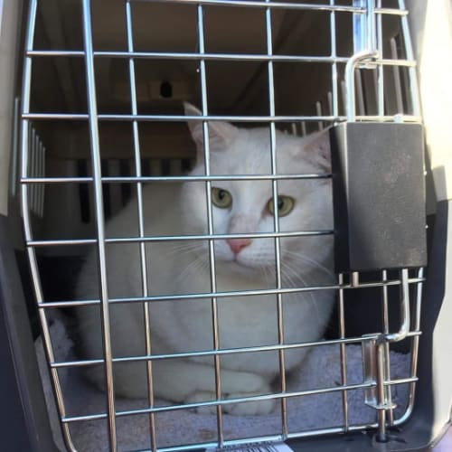 Snowball - Domestic Short Hair Cat
