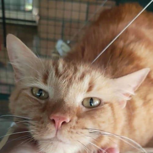 Nori - Domestic Medium Hair Cat