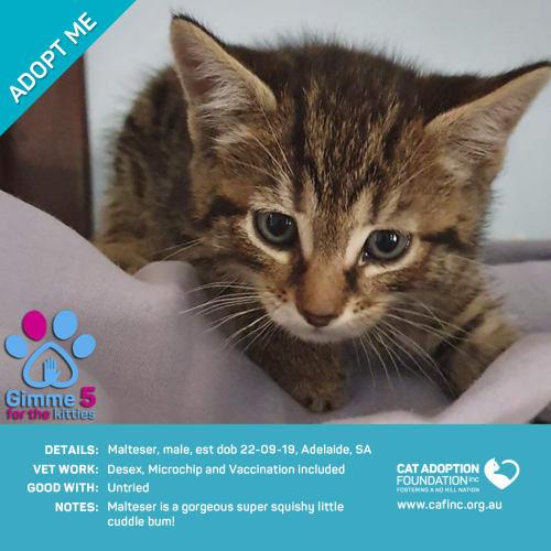 Malteaser - Domestic Short Hair Cat