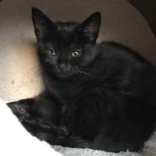 Reggie - Domestic Medium Hair Cat