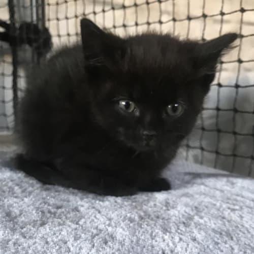 Veronica - Domestic Medium Hair Cat