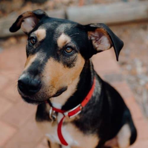 Benson - Mixed Breed Dog