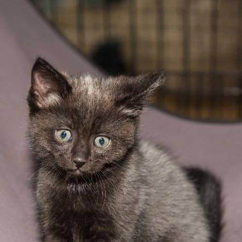 Schmiggle - Domestic Medium Hair x Ragdoll Cat