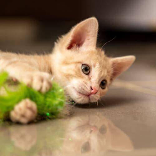 Roger - Domestic Short Hair Cat