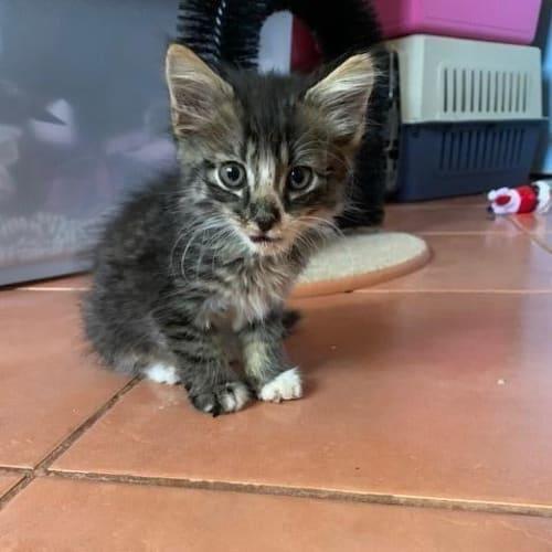 Windston - Domestic Short Hair Cat
