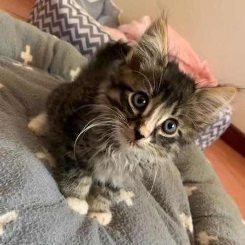 Winfield - Domestic Short Hair Cat