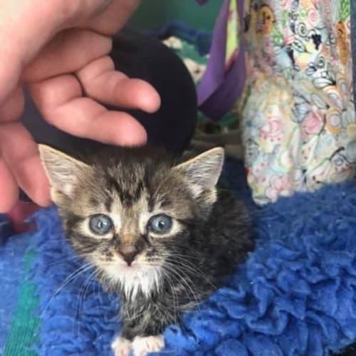 Gretta - Domestic Short Hair Cat