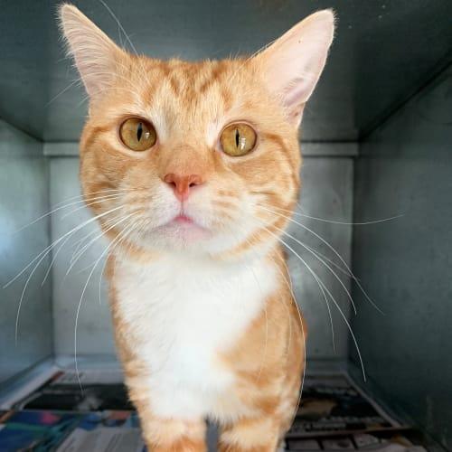Ronald - Domestic Short Hair Cat