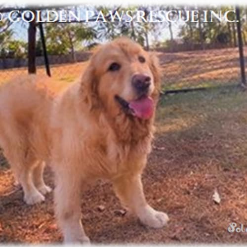 Solomon - Golden Retriever Dog