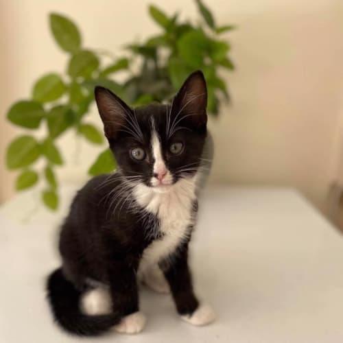 Yolanne - Domestic Short Hair Cat