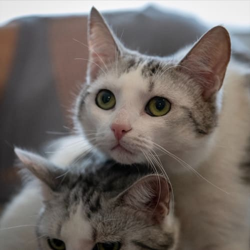 Cardi (and Nikki) - Domestic Short Hair Cat