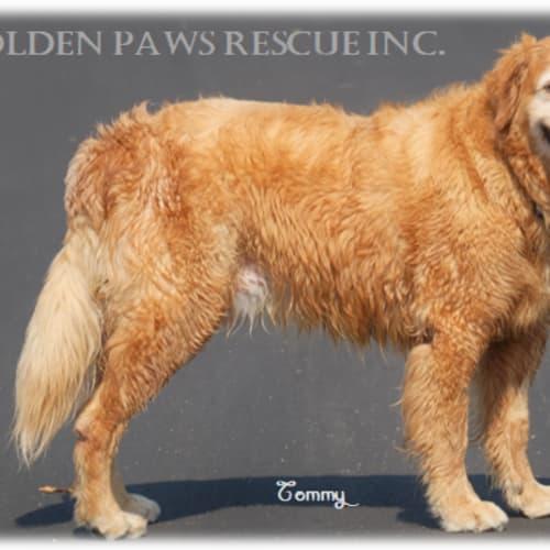 Tommy - Golden Retriever Dog