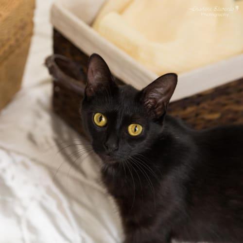 Tinkerbell ~ 8 month old kitten - Domestic Short Hair Cat