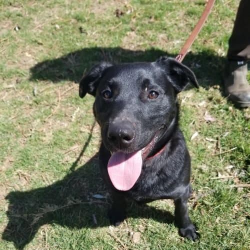 Sam ** Adorable Natured Boy ** - Labrador x German Shepherd Dog