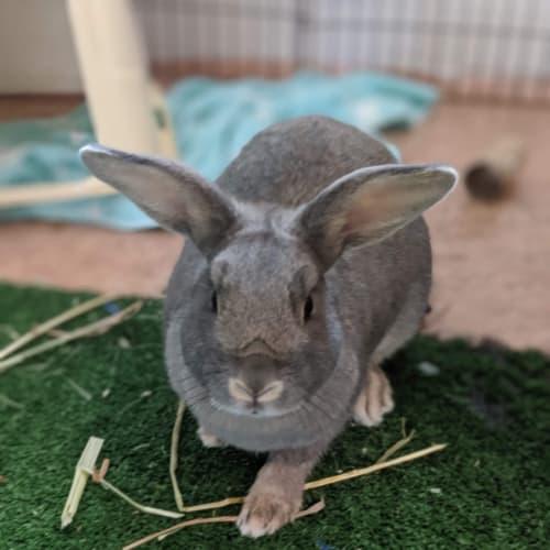 Rachel - Domestic Rabbit