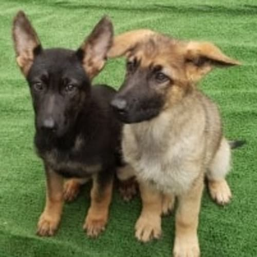 X-Men Puppies ** Adorable Natured Dogs ** - German Shepherd Dog