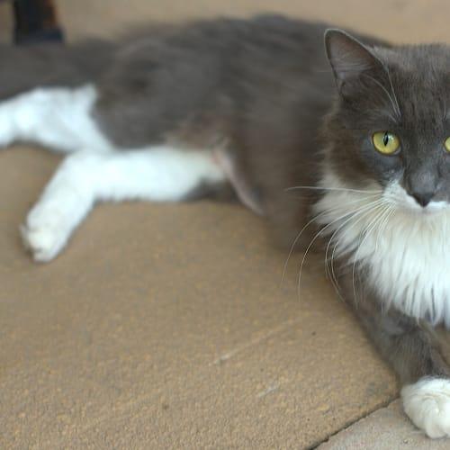 Regan - Domestic Medium Hair Cat