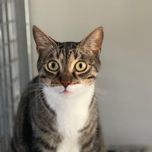 Muschi - Domestic Short Hair Cat