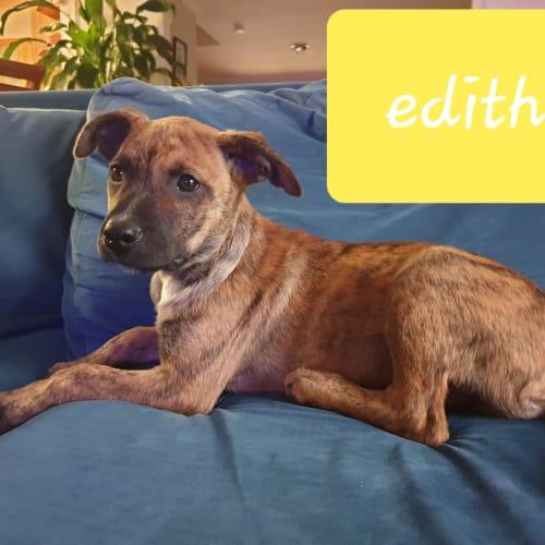 Edith - Wolfhound x Catahoula x Bull Arab Dog