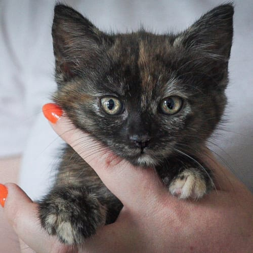 Meryl ~ 7 week old female kitten - Domestic Short Hair Cat