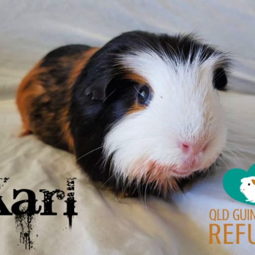 Karl (desexed male) - Crested Guinea Pig