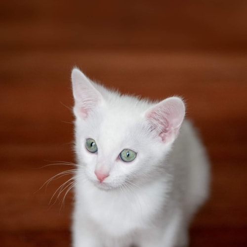 Loki - Domestic Short Hair Cat