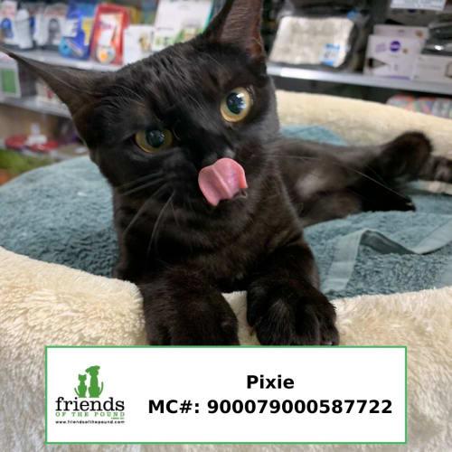 Pixie - Devon Rex Cat