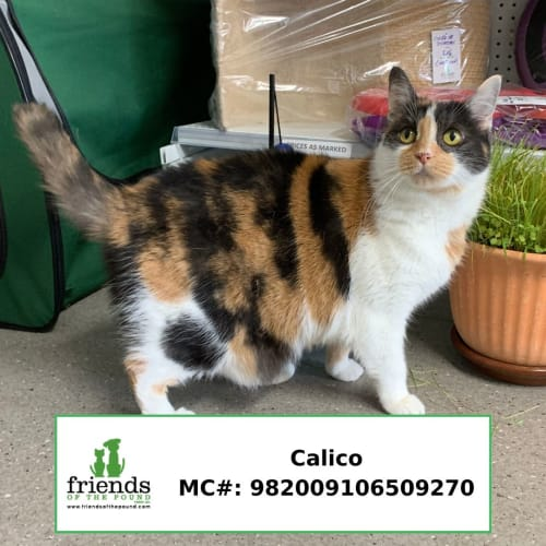 Calico - Domestic Short Hair Cat