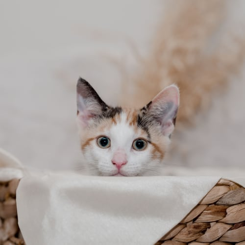 Callie - Domestic Short Hair Cat
