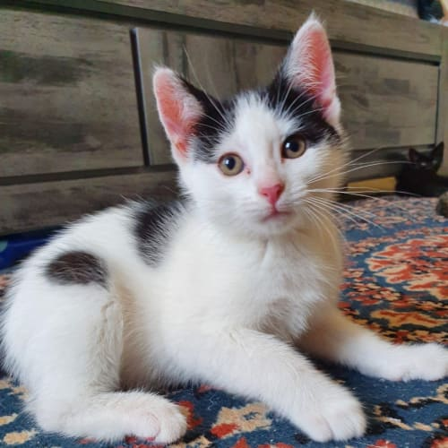 Bo-Peep - Domestic Short Hair Cat