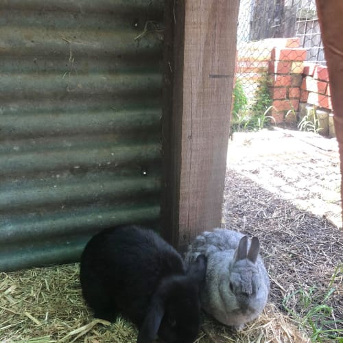 Claudia and Clarito - Netherland Dwarf x Mini Lop Rabbit