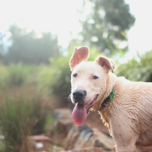 Marvin - Bull Arab x Dalmatian x Mastiff Dog