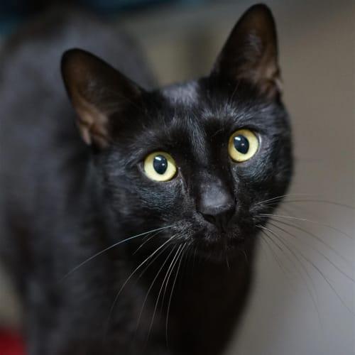 Mamoa - Siamese Cat