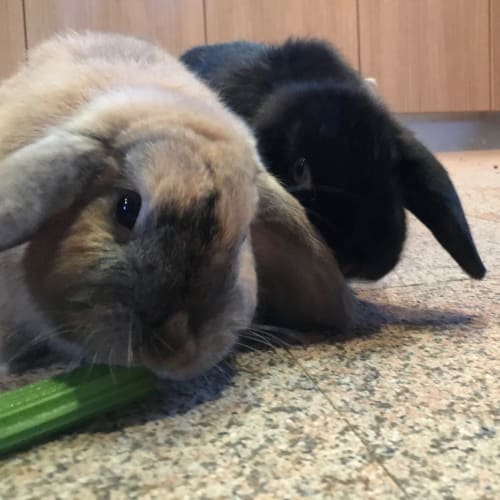 Siri and Fergus - Mini Lop Rabbit