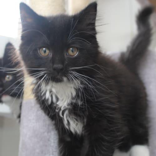Lee - Domestic Medium Hair Cat
