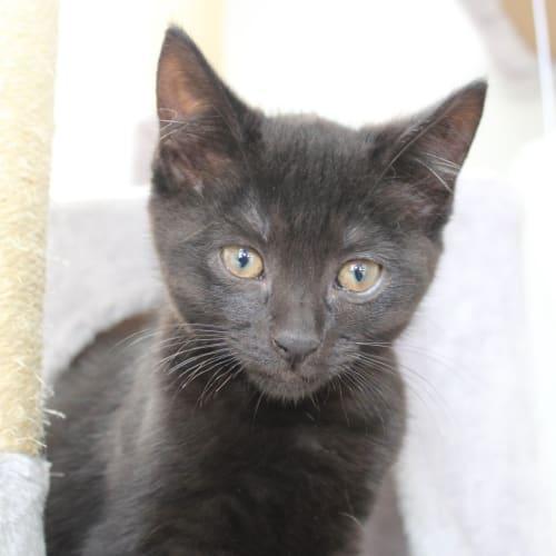 Rhett - Domestic Short Hair Cat