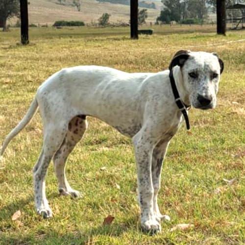 Squidward - Bull Arab Dog