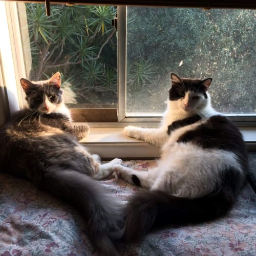 Fiona and Tulip (must go together) - Domestic Medium Hair Cat